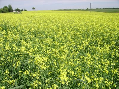 Canola for Canadian Foodgrains Bank
